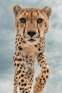 Walking Cheetah